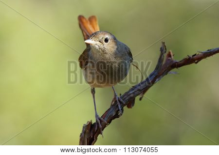 Common Nightingale,(luscinia Megarhynchos), Perched On A Branch.