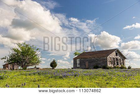 Texas Bluebonnet Field And Old Barn In Ennis.