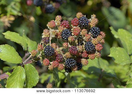Bramble Or Wild Blackberry