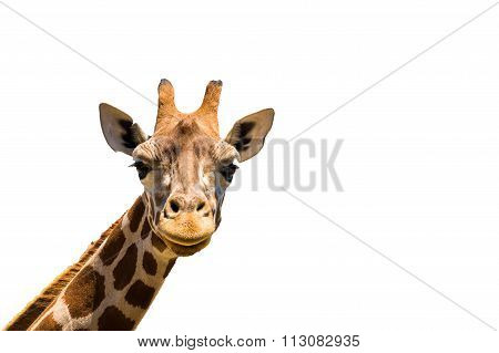 Giraffe Head Isolated On White Background