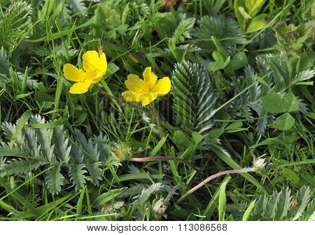 Silverweed