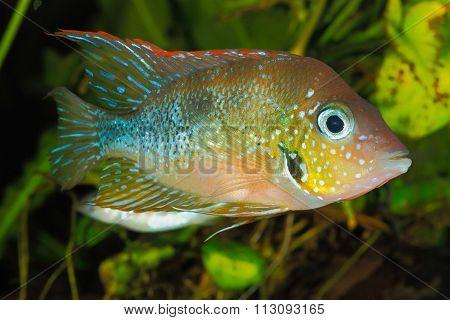 Mexican Gold Cichlid (thorichthys Aureus)
