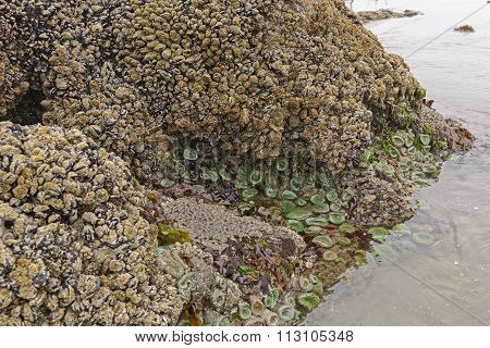 Barnacles, Clams, And Anemones At Low Tide