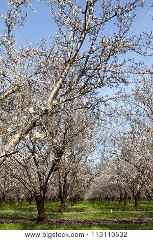 California Almond Trees