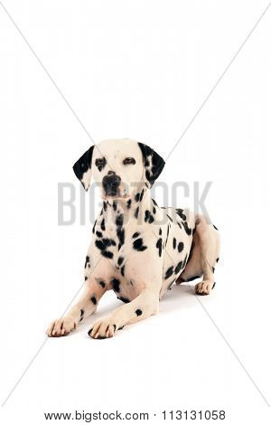Pure breed Dalmatian dog laying in studio isolated over white background