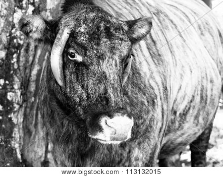 Zubron - hybrid of domestic cattle and european bison