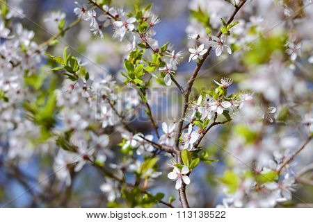 Hawthorn blooms in soft background of flowering branches and sky early spring white flowers background with bokeh poster