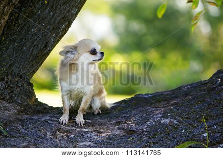 Little brave chihuahua trying to stay still