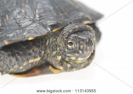 European Pond Turtle Emys Orbicularis Isolated