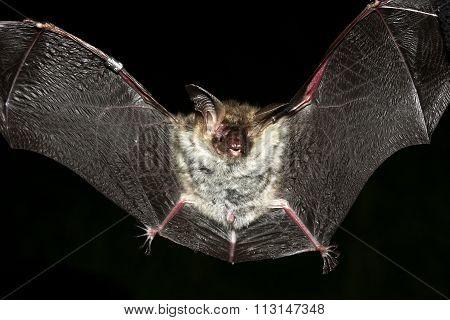 Long Ear Bat