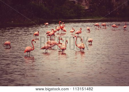 Mexican flamingos wade in lagoon poster