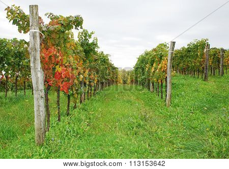 Autumn Grape Vines Near Abbazia Rosazzo