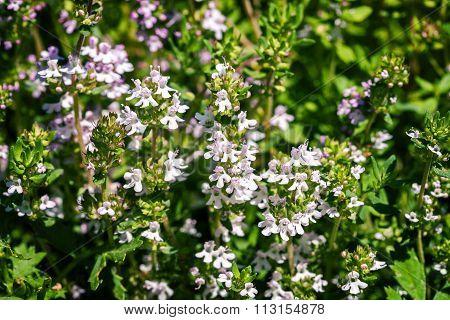 Fresh Thyme Herbs