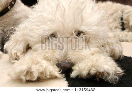 Dog Lying