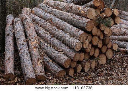 Pine Tree Stumps In Autumn Forest In Row