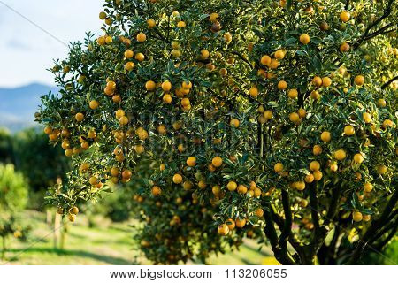 Orange Tree - Orange Farm - Orange Park