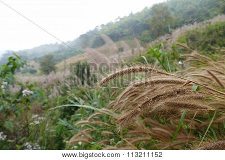 Poaceae Grass Meadow On The Hill