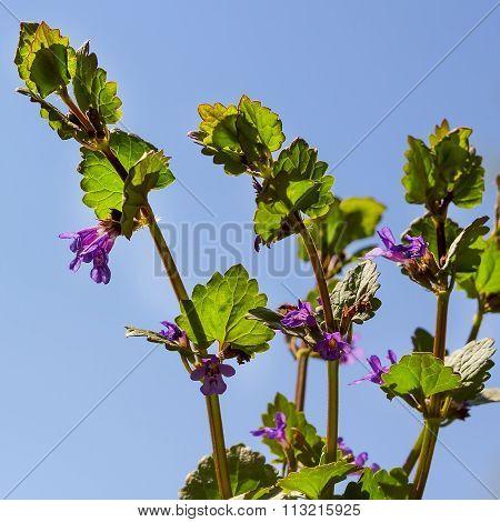 Wild-growing medicinal plant of Siberia Zmeegolovnika drooping ( lat.Dracocephalum nutans )