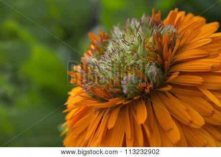 Calendula - Greenheart Orange Flower