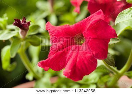 Red Flower Petunia Surfinia Vein