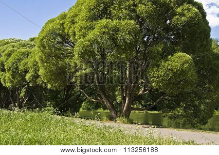 Summer landscape - willow trees on bank of lake. Recorded in Izmaylovskiy park in Moscow.