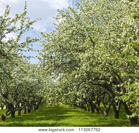 Spring landscape - avenue in apple garden in blossom.