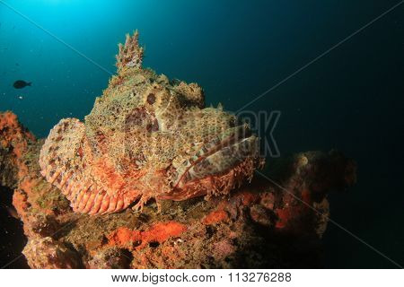 Scorpionfish stonefish fish