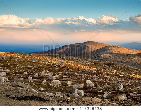 Mountain goats on Mt. Evans
