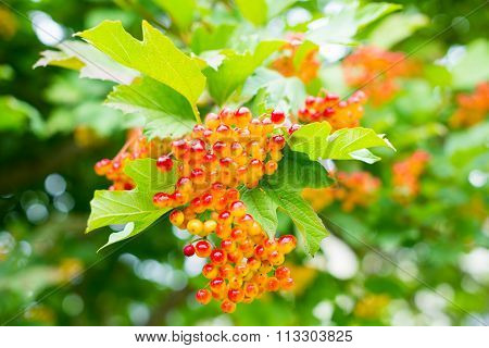 Berries Of The Guelder Rose