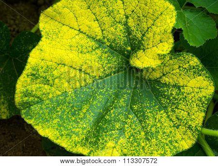 Big Leaf Of The Pumpkin Plant