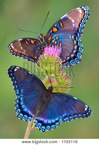 Redspotted Purple Butterflies
