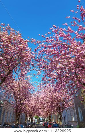 BONN, GERMANY - APRIL 21, 2015: cherry blossom in the old town of Bonn with unidentified people. On the ranking of the beautiest cherry blossom alleys in the world this one is on rank 10.