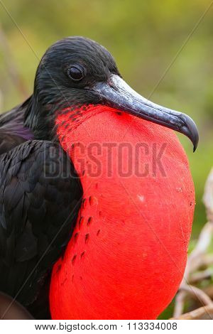 Male Magnificent Frigatebird (Fregata magnificens) with inflated gular sac on North Seymour Island Galapagos National Park Ecuador poster