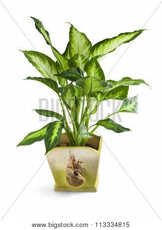 Home Leon Plant In Pot Isolated On White With Clipping Path