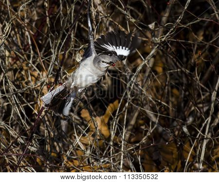 Northern Mockingbird With Berry