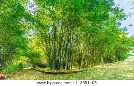 Sunny bamboo forest early