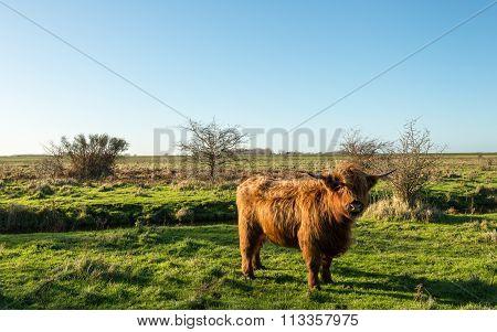Proudly Posing Scottish Highlander Cow