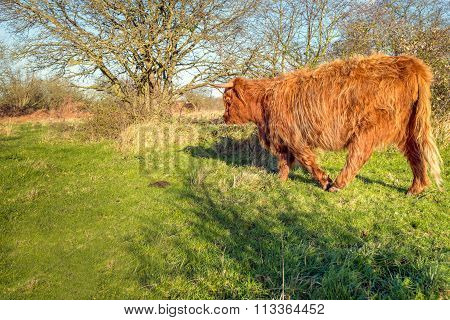 Massive Highland Cow Walking Away
