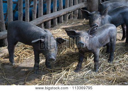 Group Cute Baby Black Pig In Pigpen.