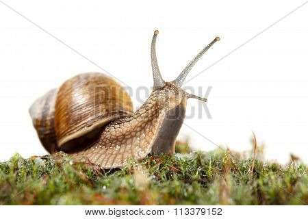 Snail Looking From Moss