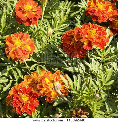 Flower bed with few flowers marigolds of orange colour.