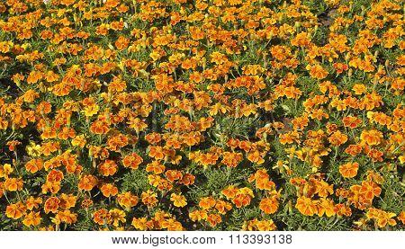 Flowerbed with many orange marigolds horizontal orientation.
