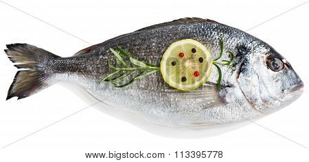 Fresh Raw Fish Gilthead Bream.