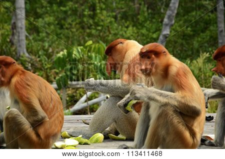 Eating Proboscis Monkeys