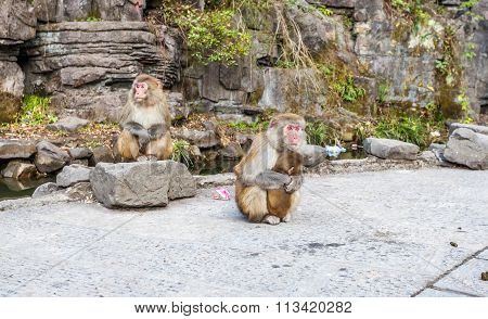 Monkey eats food that stole from tourist  in Zhangjiajie National Geological Park