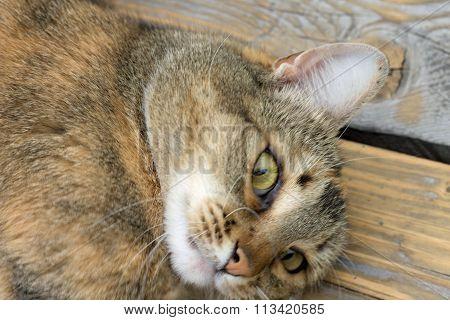 pet - cat European makes eyes