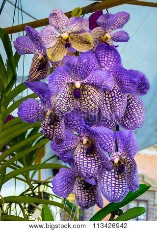 Beautiful Violet Orchid Vanda