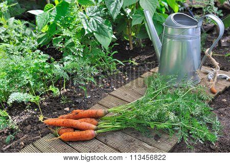 Freshness Carrots In Garden