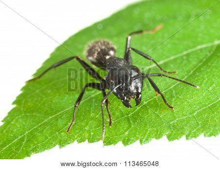 Biting Ant En Face