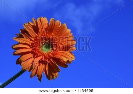 Orange Daisy In The Sky